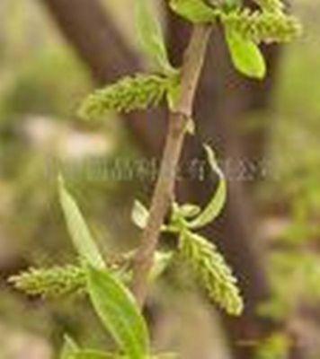 White Willow Bark PE