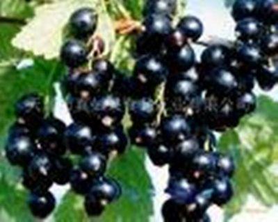 Black currant PE