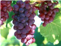 Grape Seed PE