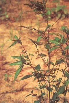 acalypha australis  extract