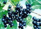 Black currant anthocyanin
